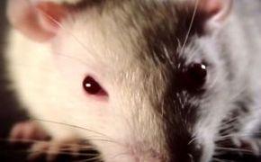 Thumb_779_vie_revee_des_rats