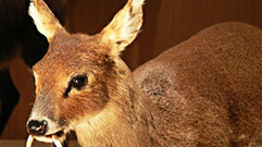 Cropped_thumb_animal_treasure_musk_deer