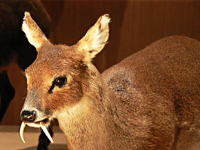 Thumb_animal_treasure_musk_deer