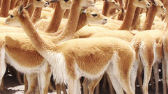 Cropped_thumb_animal_treasure_vicuna