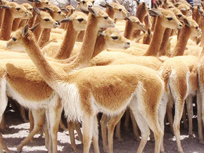 Thumb_animal_treasure_vicuna