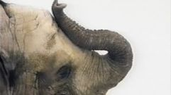 Cropped_thumb_498_elephants