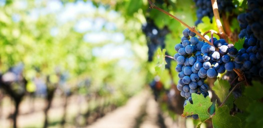 purple-grapes-553463_1920