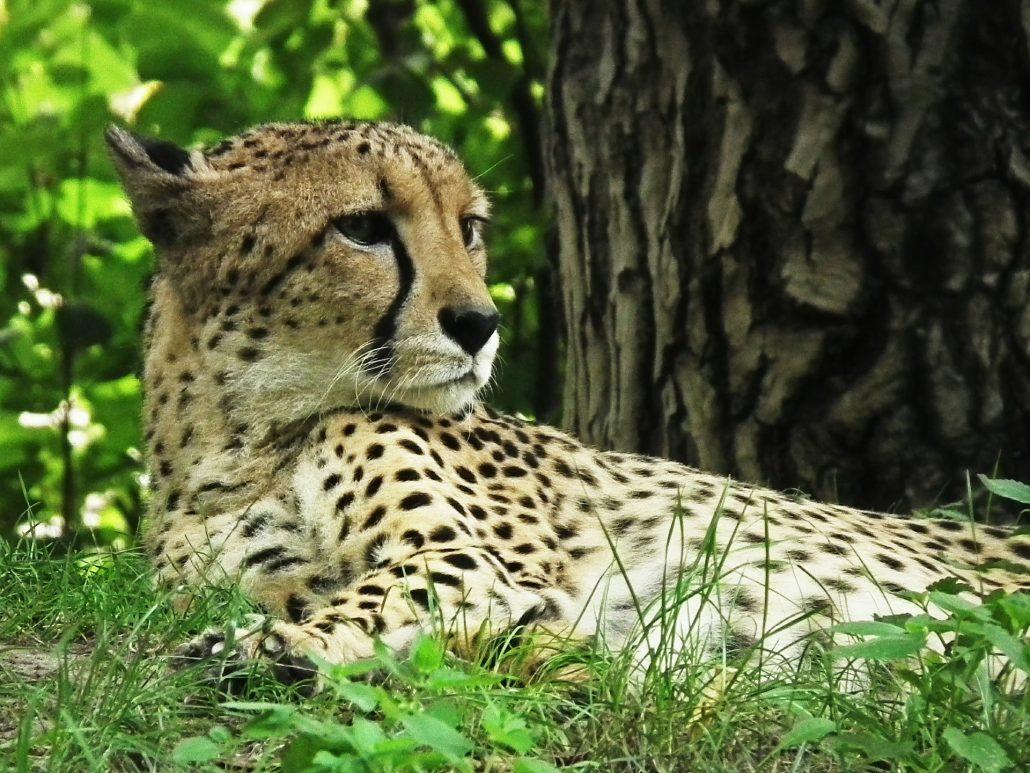 cheetah-425468_1920