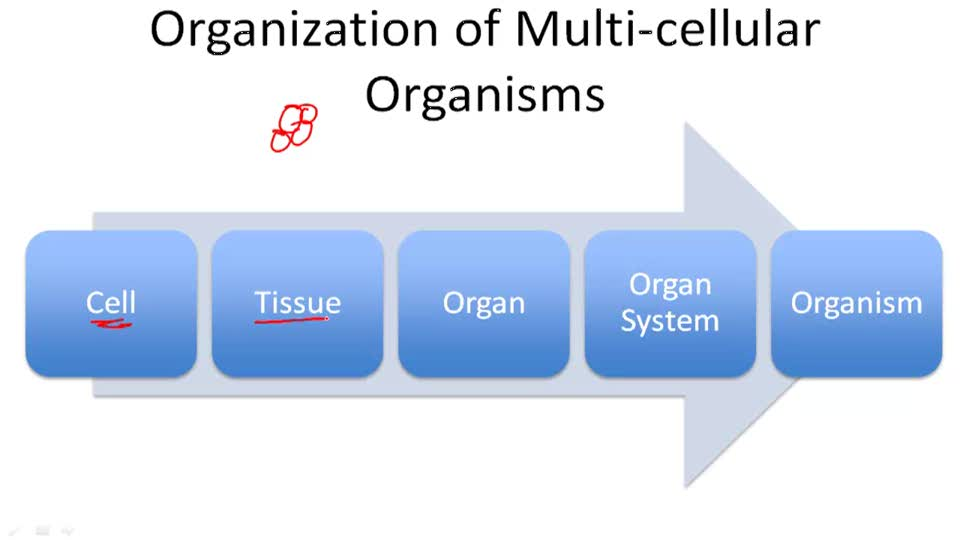the cellular level of organization Cell size and shape | the cell membrane | the cell wall | the nucleus |  cytoplasm | vacuoles and vesicles  life exhibits varying degrees of  organization.