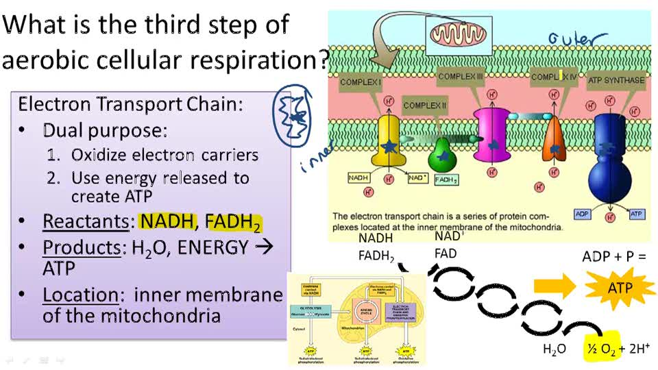 cellular respiration essay example Cellular respiration essays cellular respiration begins with glucose glucose is the primary fuel used in glycolysis, the first stage of cellular respiration this molecule is found in the.
