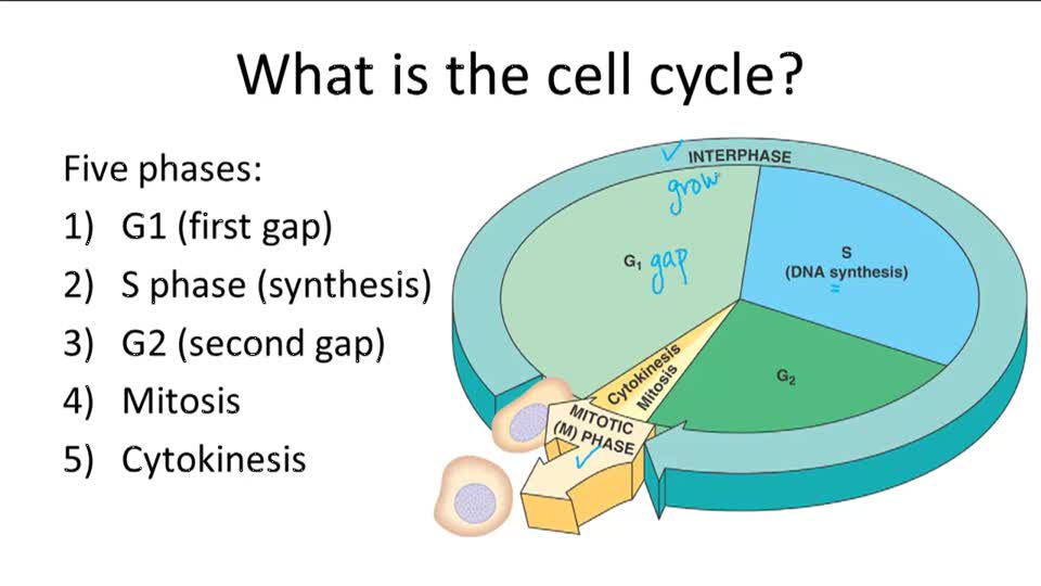 The Cell Cycle - Overview