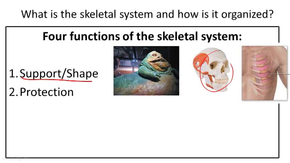 Skeletal System Structure and Function - Overview