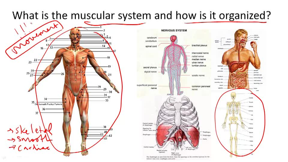 Muscular System Structure and Function - Overview