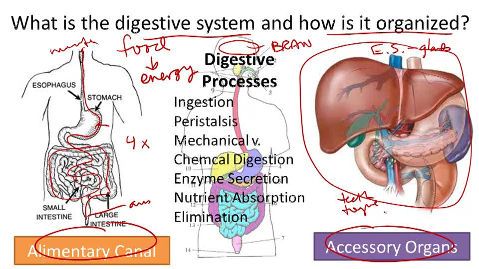Digestive System Structure and Function - Overview