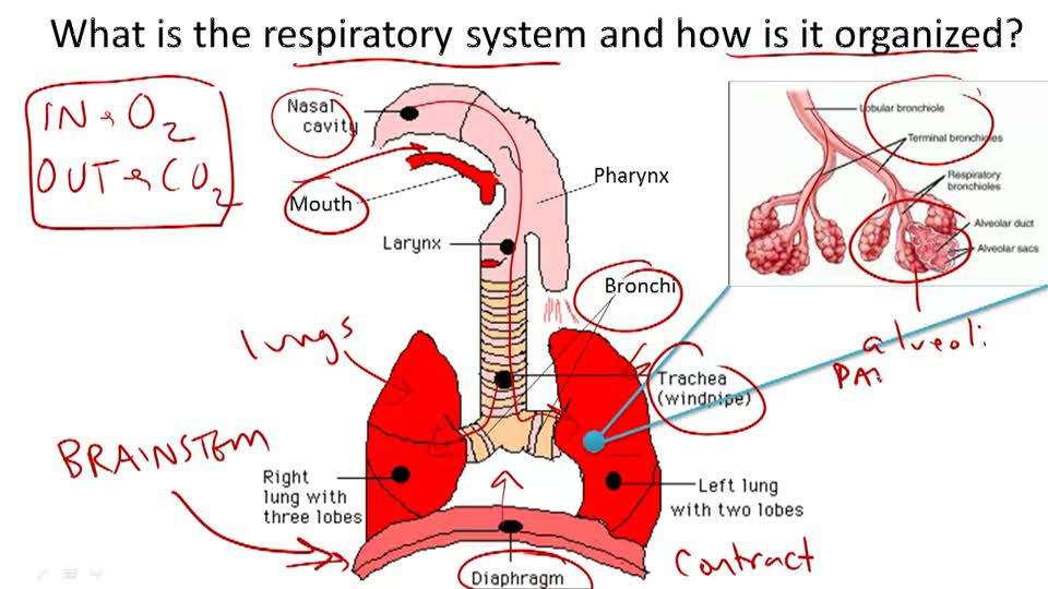 Respiratory System Structure and Function - Overview