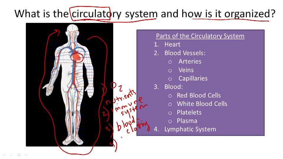 Circulatory System Structure and Function - Overview
