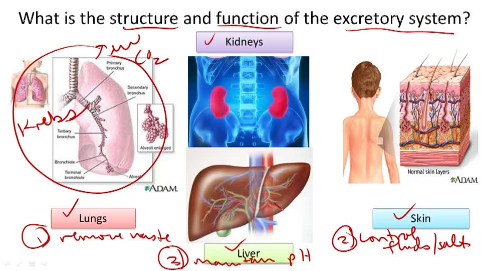 Excretory System Structure and Function - Overview