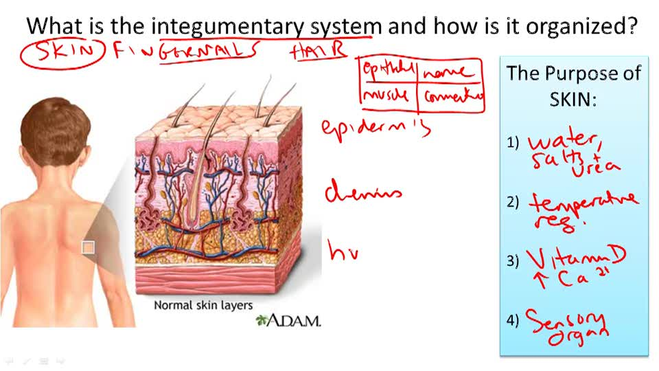 Integumentary System Structure and Function - Overview
