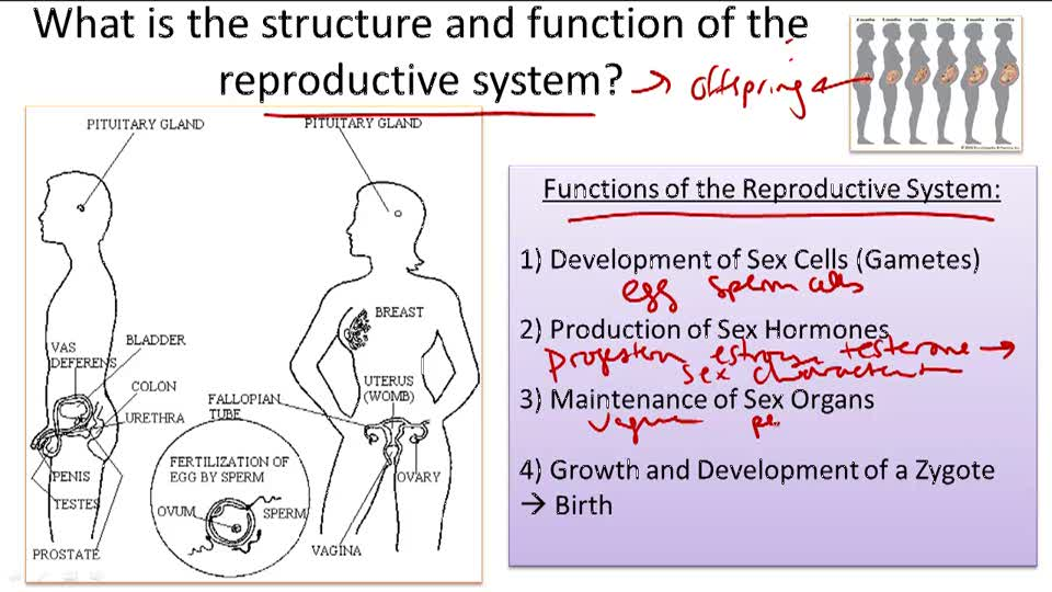 Reproductive System Structure and Function - Overview
