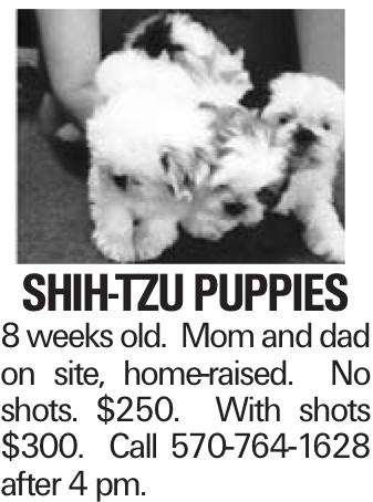 Shih-Tzu puppies 8 weeks old. Mom and dad on site, home-raised. No shots. $250. With shots $300. Call 570-764-1628 after 4 pm.