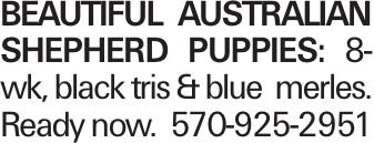 Beautiful australian shepherd puppies: 8-wk, black tris & blue merles. Ready now. 570-925-2951