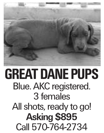Great Dane pups Blue. AKC registered. 3 females All shots, ready to go! Asking $895 Call 570-764-2734