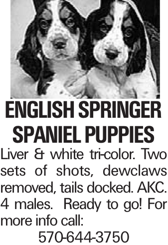 English Springer Spaniel puppies Liver & white tri-color. Two sets of shots, dewclaws removed, tails docked. AKC. 4 males. Ready to go! For more info call: 570-644-3750