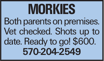 MORKIES Both parents on premises. Vet checked. Shots up to date. Ready to go! $600. 570-204-2549