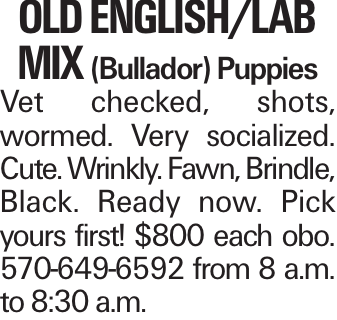 Old English/Lab MIX (Bullador) Puppies Vet checked, shots, wormed. Very socialized. Cute. Wrinkly. Fawn, Brindle, Black. Ready now. Pick yours first! $800 each obo. 570-649-6592 from 8 a.m. to 8:30 a.m.