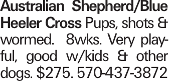 Australian Shepherd/Blue Heeler Cross Pups, shots & wormed. 8wks. Very playful, good w/kids & other dogs. $275. 570-437-3872