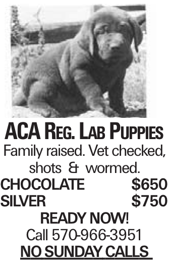 ACA Reg. Lab Puppies Family raised. Vet checked, shots & wormed. Chocolate$650 Silver$750 Ready NOW! Call 570-966-3951 NOSUNDAYCALLS