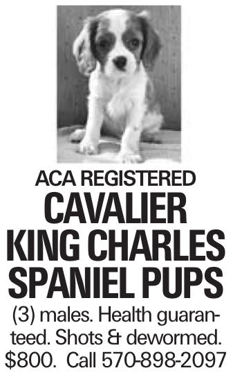 Aca Registered Cavalier king charles spaniel pups (3) males. Health guaranteed. Shots & dewormed. $800. Call 570-898-2097