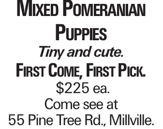 Mixed Pomeranian Puppies Tiny and cute. First Come, First Pick. $225 ea. Come see at 55 Pine Tree Rd., Millville.