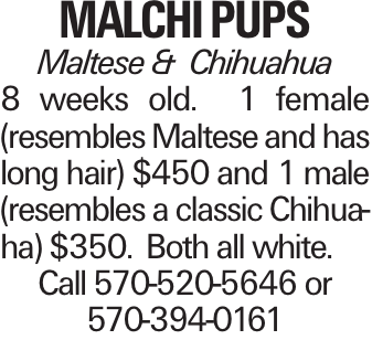 Malchi pups Maltese & Chihuahua 8 weeks old. 1 female (resembles Maltese and has long hair) $450 and 1 male (resembles a classic Chihuaha) $350. Both all white. Call 570-520-5646 or 570-394-0161