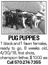 PUGPUPPIES 1 black and1 fawn females, ready to go, 8 weeks old, 4/30/18, first shots, champion father, $1000 ea Call 570-274-7355