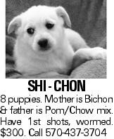 SHI - CHON 8 puppies. Mother is Bichon & father is Pom/Chow mix. Have 1st shots, wormed. $300. Call 570-437-3704
