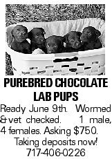 purebred chocolate Lab pups Ready June 9th. Wormed &vet checked. 1 male, 4 females. Asking $750. Taking deposits now! 717-406-0226