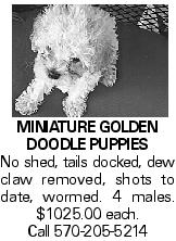 Miniature Golden Doodle Puppies No shed, tails docked, dew claw removed, shots to date, wormed. 4 males. $1025.00 each. Call 570-205-5214