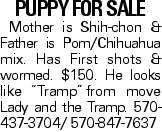 """PUPPY for sale Mother is Shih-chon & Father is Pom/Chihuahua mix. Has First shots & wormed. $150. He looks like """"Tramp""""from move Lady and the Tramp. 570-437-3704/ 570-847-7637"""