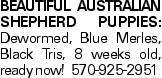 Beautiful australian shepherd puppies: Dewormed, Blue Merles, Black Tris, 8 weeks old, ready now! 570-925-2951