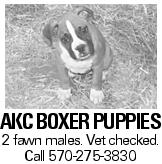 AKC Boxer puppies 2 fawn males. Vet checked. Call 570-275-3830