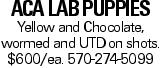ACA Lab Puppies Yellow and Chocolate, wormed and UTDon shots. $600/ea. 570-274-5099
