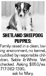 shetland sheepdog puppies: Family raised in a clean, loving environment, no kennel, cuddled by responsible children, Sable &White. Vet checked. Asking $850/ea. 717-362-1390, ask for Mary.