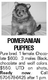 POMeranian puppies Pure bred. 1 female. Chocolate $600. 3 males. Black, chocolate and wolf colors. $550. UTD on shots, Ready now. Call 570-578-6425 after 1 p.m.