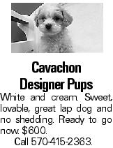Cavachon Designer Pups White and cream. Sweet, lovable, great lap dog and no shedding. Ready to go now. $600. Call 570-415-2363.