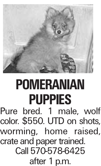 POMeranian puppies Pure bred. 1 male, wolf color. $550. UTD on shots, worming, home raised, crate and paper trained. Call 570-578-6425 after 1 p.m.