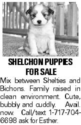 Shelchon puppies for sale Mix between Shelties and Bichons. Family raised in clean environment. Cute, bubbly and cuddly. Avail. now. Call/text 1-717-704-6698 ask for Esther.