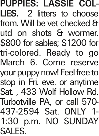 PUPPIES: LASSIE COLLIES. 2 litters to choose from. Will be vet checked & utd on shots & wormer. $800 for sables; $1200 for tri-colored. Ready to go March 6. Come reserve your puppy now! Feel free to stop in Fri. eve. or anytime Sat. , 433 Wolf Hollow Rd. Turbotville PA, or call 570-437-2594 Sat. ONLY 1-1:30 p.m. NO SUNDAY SALES. As published in the Press Enterprise.
