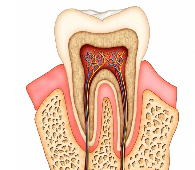 Structure Of Human Tooth Classmint