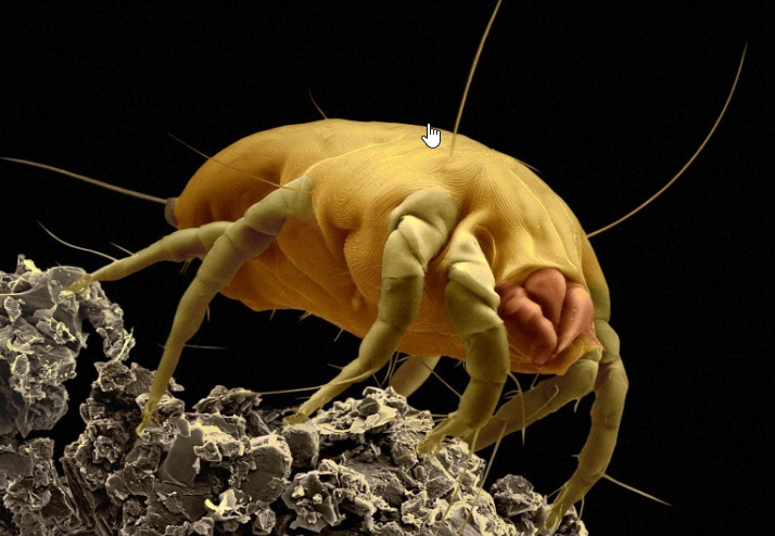 dust-mites-in-your-carpet