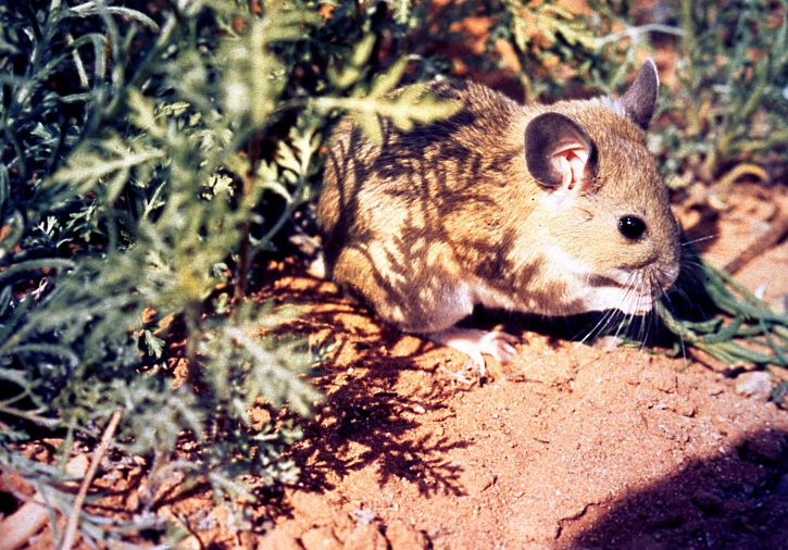A type of Rodent in the Desert is a Woodrat