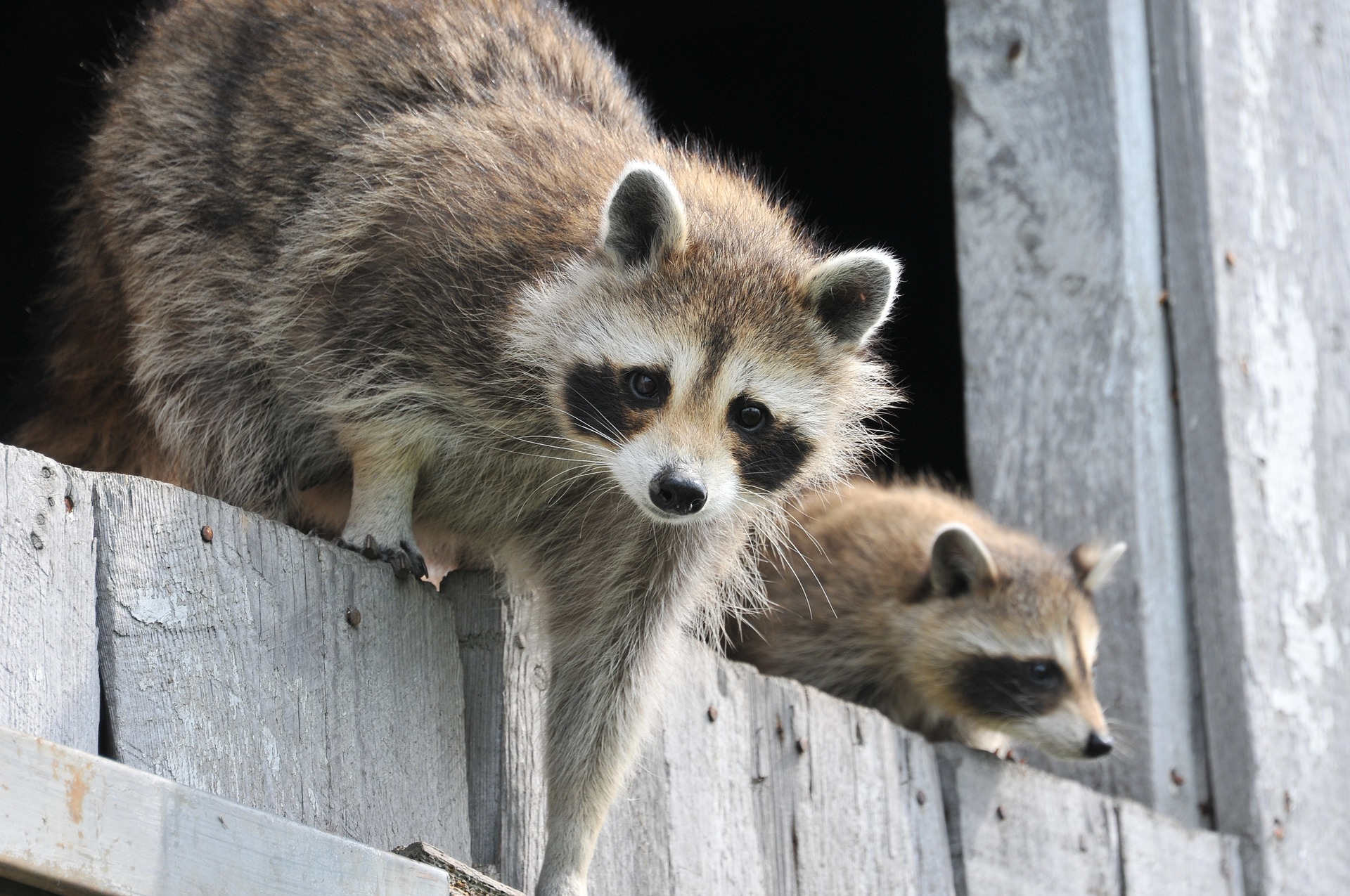 raccoons in a house