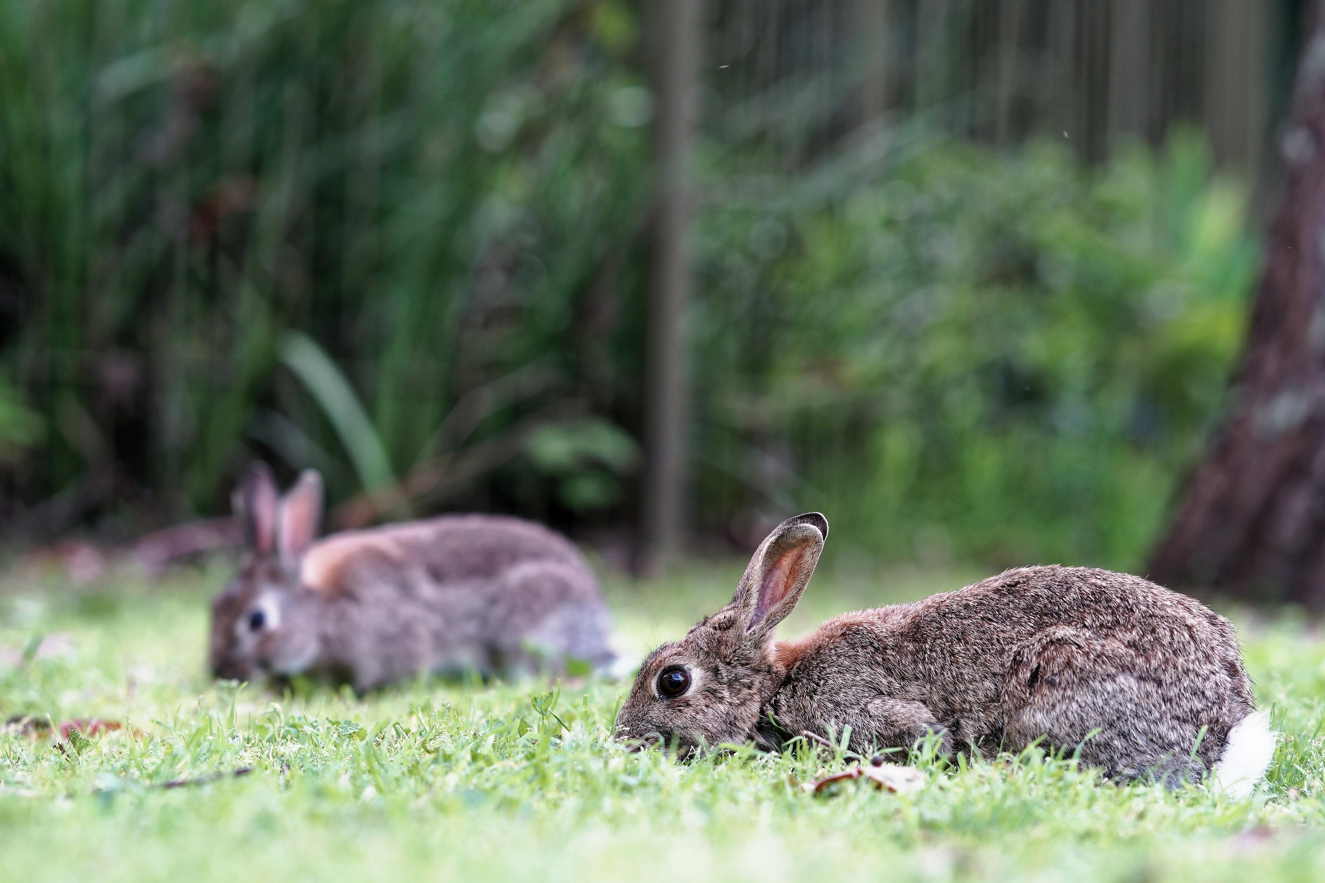 Rabbit Pest Control
