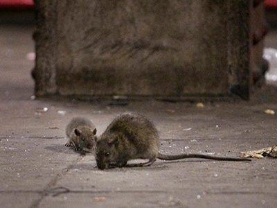 rats wandering on the ground; do cats kill rats?